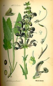 200px-illustration_salvia_pratensis0